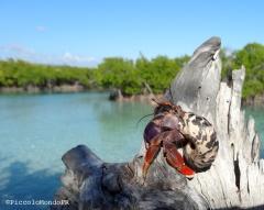 Cobito hemit crab Guanica