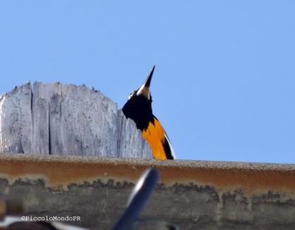 Aves Guanica PiccoloMondoPR