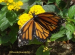 Mariposa La Marquesa