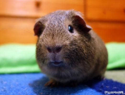 Pancho Guinea PIG