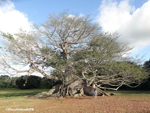 Ceiba Vieques