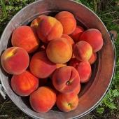 Greggs Peach Farm 1 PM