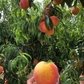 Greggs Peach Farm 3 PM